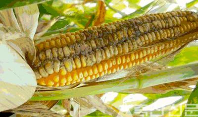 옥수수에 주로 발생하는 곰팡이 독소는 1급 발암물질이다.